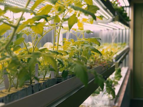 Tomatos 1.jpg