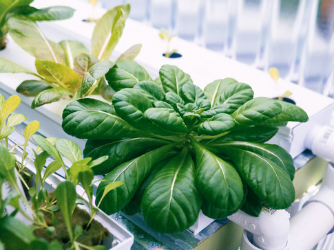 Lettuce Fixed 3.jpg