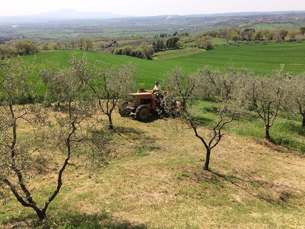 Olive tree maintenance