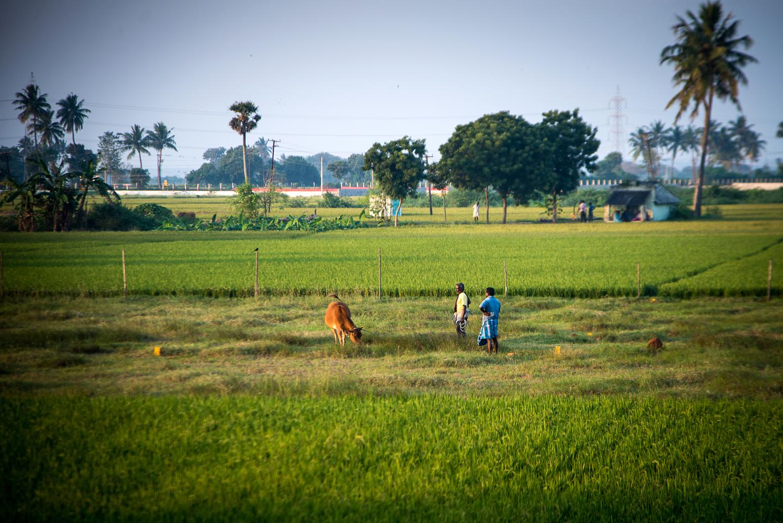 Rice fields behind the Ashram