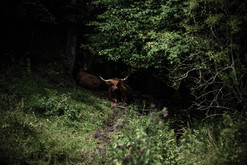 Wolfshof - Highland-Cattle