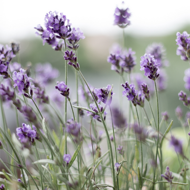 Lavender Lane Counselling online and in person in Hertfordshire