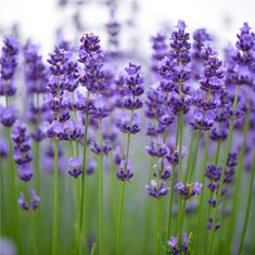 Lavender Lane Counselling in Hertfordshire