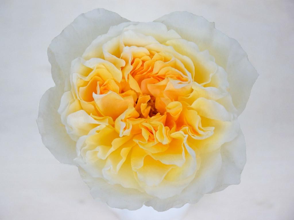 david-austin-wedding-rose-beatrice-alexa