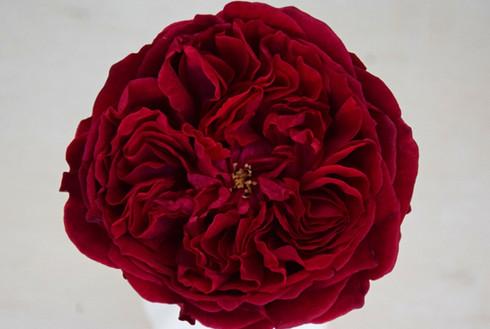 david-austin-wedding-rose-tess-rosaprima