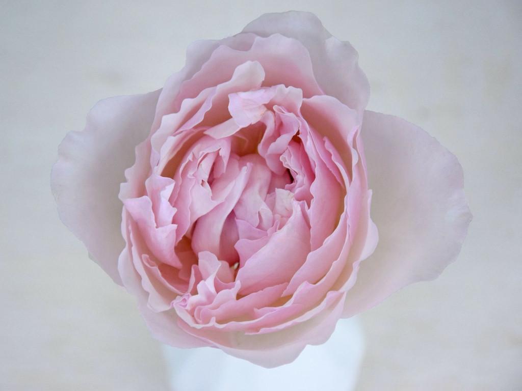 david-austin-rose-rosalind-tambuzi-ogfq6