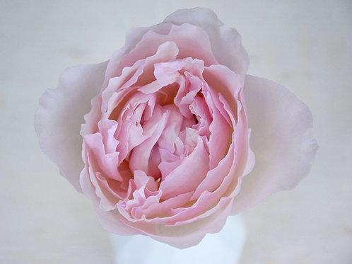 David Austin Wedding Rose Rosalind™