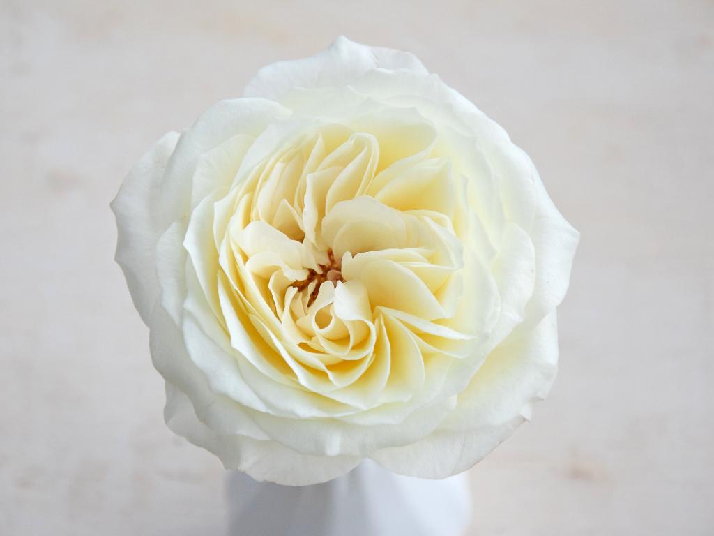 david-austin-wedding-rose-ella-ogfq7pjgn