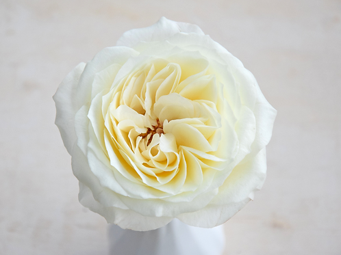 David Austin Wedding Rose Ella™