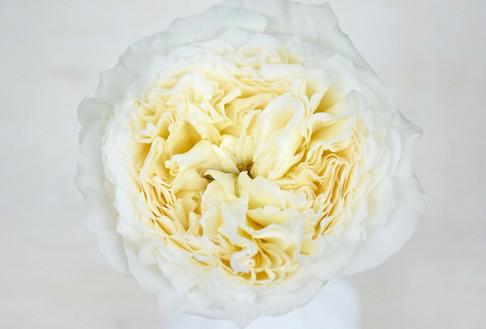 david-austin-wedding-rose-patience-alexa