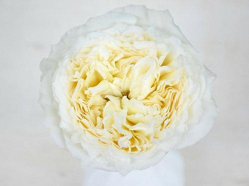 David Austin Wedding Rose Patience™