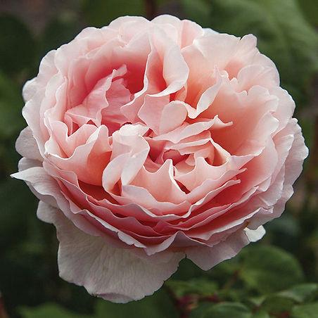 trandafirul-Princesse-Charlene-de-Monaco