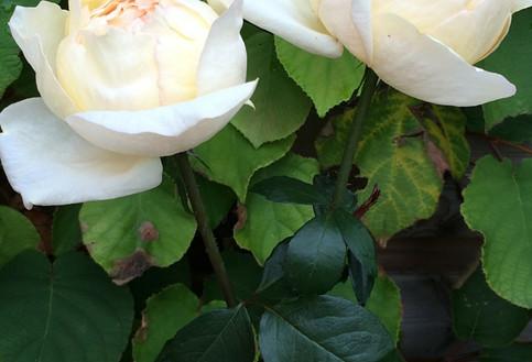 Cream-Yves-Piaget-002.jpg