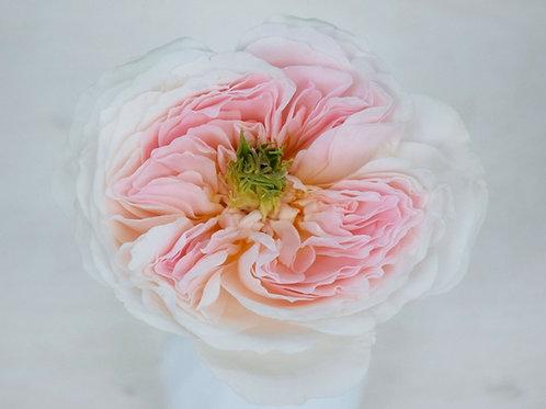 David Austin Wedding Rose 'Charity'