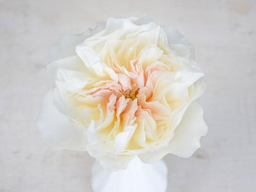 David Austin Wedding Rose Eugenie™