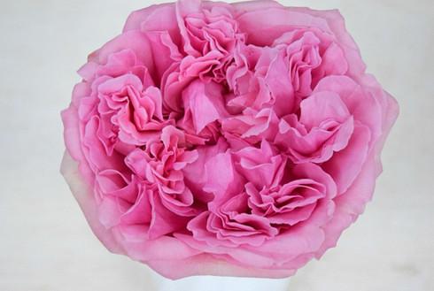 david-austin-wedding-rose-miranda-tambuz