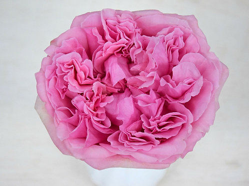 David Austin Wedding Rose Miranda™