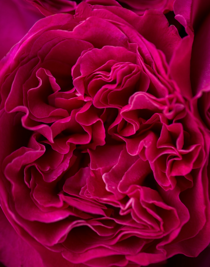 Darcey-David-Austin-Wedding-Rose-002.png