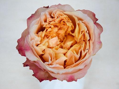 David Austin Wedding Rose Edith™