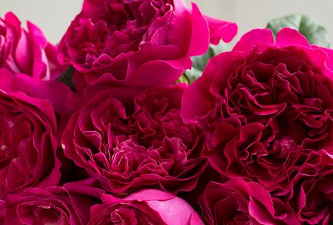 Darcey-David-Austin-Wedding-Rose-003.png