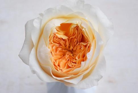david-austin-wedding-rose-effie-alexandr
