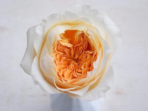 David Austin Wedding Rose Effie™