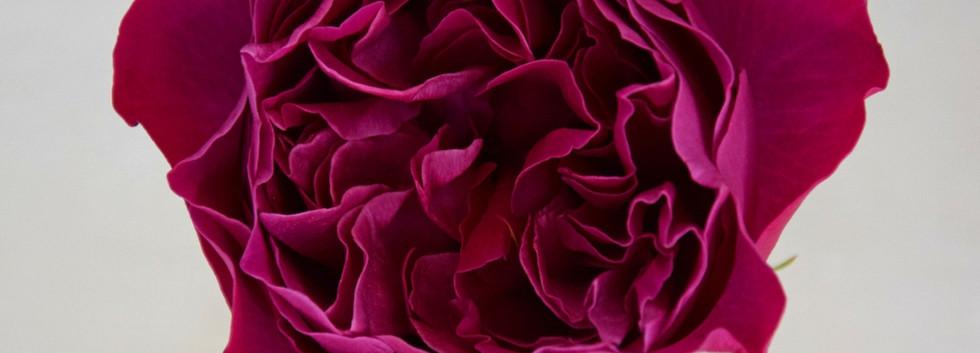 david-austin-wedding-rose-kate-agrirose-