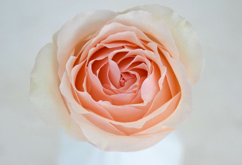 meilland-jardin-parfum-sweet-perfumella-