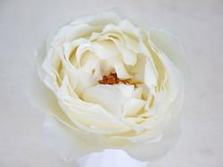 Meilland Delice Romantica