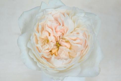 david-austin-wedding-rose-purity-alexand
