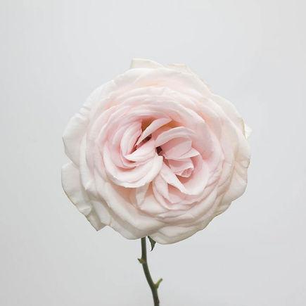 Prince-Jardinier-Rose.jpg