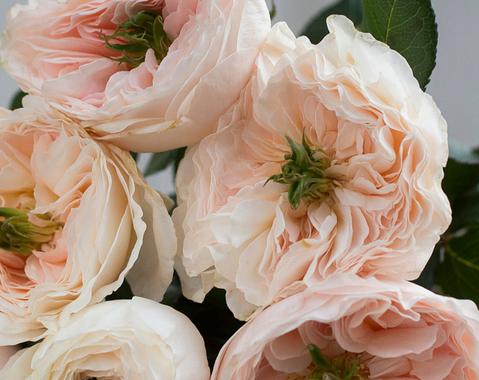 Charity-David-Austin-Wedding-Rose-006.pn