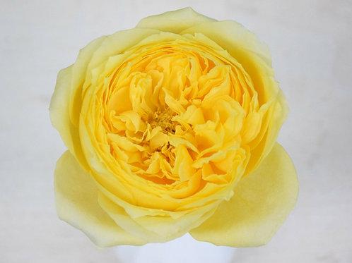 David Austin Wedding Rose Beatrice™