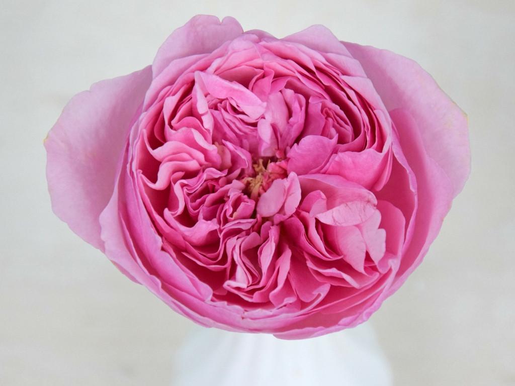 david-austin-wedding-rose-carey-tambuzi-