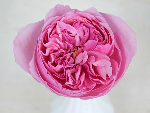 David Austin Wedding Rose Carey™