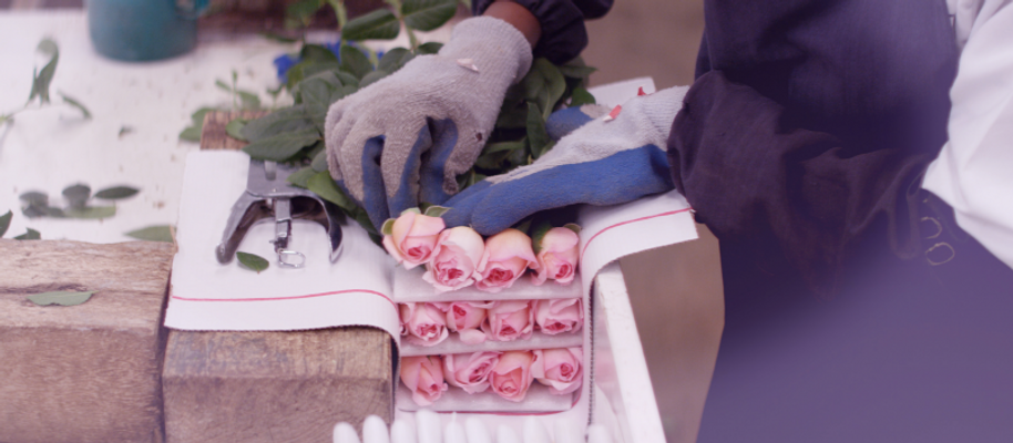packing-of-scented-roses-at-tambuzi-2500