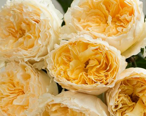 Beatrice-David-Austin-Wedding-Rose-003.p