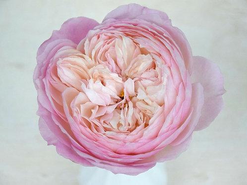 David Austin Wedding Rose Constance™