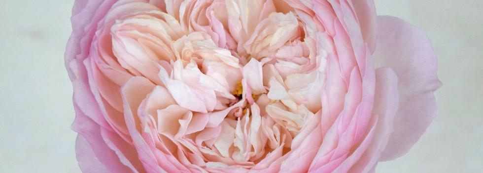 david-austin-wedding-rose-constance-tamb