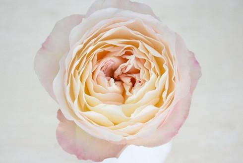 david-austin-wedding-rose-keira-agrirose
