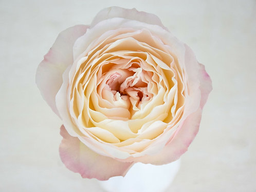 David Austin Wedding Rose Keira™