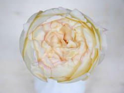 Meilland  Yves Piaget Cream