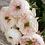 Thumbnail: David Austin Wedding Rose 'Charity'