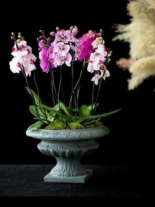Urna cu Orhidee Phalaenopsis
