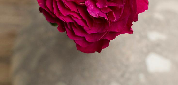 Darcey-David-Austin-Wedding-Rose-005.png