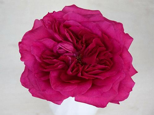David Austin Wedding Rose Capability™