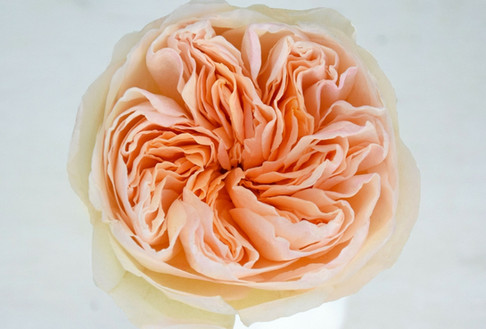 david-austin-wedding-rose-juliet-rosapri
