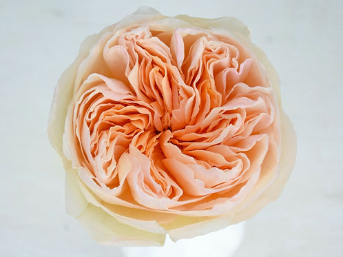 David Austin Wedding Rose Juliet™