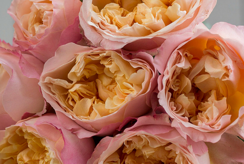 Edith-David-Austin-Wedding-Rose-002.png