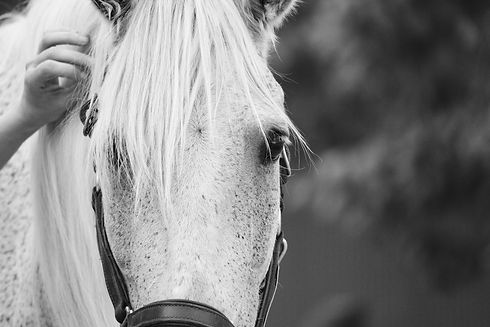 Silverwood is one of the therapy horses in our herd at Medicine Horse in Boulder, Colorado.